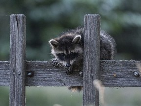In this July 4, 2018 photo a raccoon sits on a fence in Prietzen, eastern Germany.