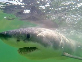 "A great white shark known as ""Jamison"" is shown in a handout photo. (THE CANADIAN PRESS/HO-Massachusetts Shark Research Program / Atlantic White Shark Conservancy)"