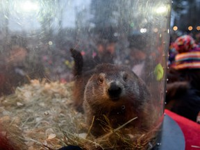 Punxsutawney Phil did not see his shadow predicting an early spring  during the 133rd annual Groundhog Day festivities on Feb. 2, 2019 in Punxsutawney, Pa. (Jeff Swensen/Getty Images)