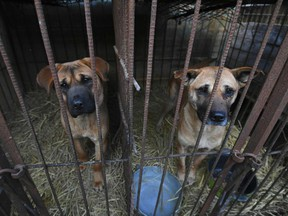 Dogs look out from a cage at a dog farm during a rescue event, involving the closure of the farm organised by the Humane Society International (HSI), in Hongseong on February 13, 2019.