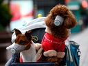 In this Feb. 19, 2020, file photo, dogs wearing masks are seen in a stroller in Shanghai