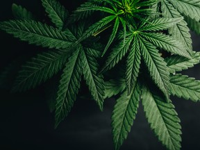 In COVID-19 fight, medical cann…