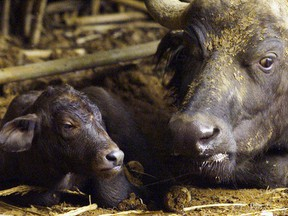A Cape Buffalo rests with her newborn calf born at a zoo in Pretoria, South Africa, January 1, 2000.