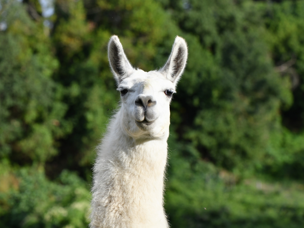 Wally the llama may be key to treating COVID-19