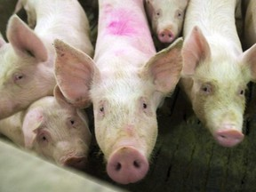 Pigs are seen in this file photo from April, 2009.