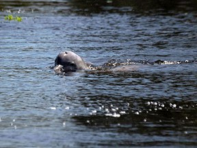 In this file photo taken on June 27, 2018 a river dolphin (Sotalia fluviatilis) swims at Mamiraua Sustainable Development Reserve in Amazonas state, Brazil.