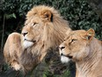 Lions are seen in their compound at the Artis Amsterdam Royal Zoo in Amsterdam, in this handout photo released to media on January 28, 2021.