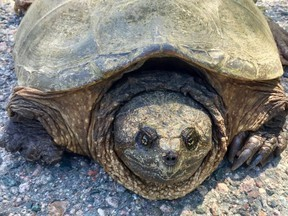 A 71-year-old woman in a car in Florida was injured when a turtle (not pictured) smashed through the windshield.
