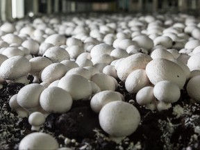 Champignons growing on a mushroom farm. Mushroom production industry.