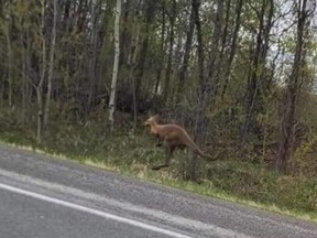 Reddit photo of escaped kangaroo Willow.