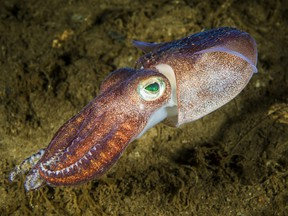 Lesser bobtail squid is a widespread species of bobtail squid native to the northwest Atlantic Ocean.