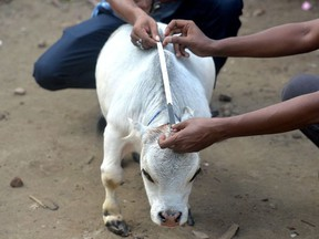 People measure a dwarf cow named Rani, whose owners applied to the Guinness Book of Records claiming it to be the smallest cow in the world, at a cattle farm in Charigram, about 25 km from Savar on July 6, 2021.