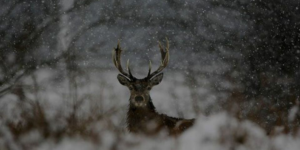 Deer look out during a snowfall in this file photo.