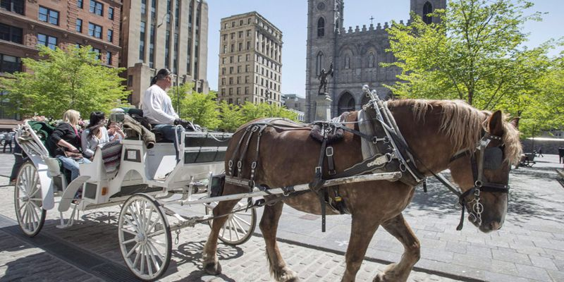 Montreal Carriage Horse Retirement 20190410