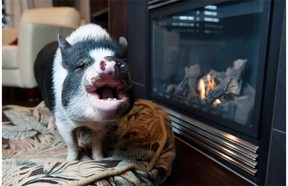 A court ruled last week that Eli, a pot-bellied pig, can no longer live in a Sherwood Park home as a pet.