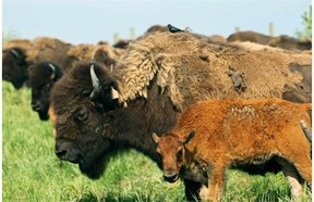 Some of the Beaver Creek Wood Bison Ranch's herd of 300 buffalo and 100 new buffalo calves. The ranch was built on land reclaimed from Syncrude's past mining operations north of Fort McMurray.