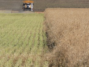 A combine harvests canola on land south of Eckville, Alta., in October 2015. Farmers are expecting financial losses this year due to poor weather conditions.