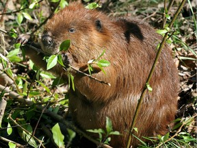 A beaver munches on saplings and grass shoots along the trail in Emily Murphy Park in Edmonton in a 2013 file photo. The iconic Canadian creature seemed completely unconcerned about people passing by at close range.