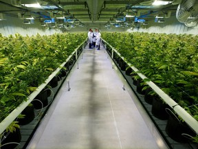 Thousands of marijuana plants grow inside one of the 10 grow rooms at Aurora Cannabis Inc.'s medical marijuana production facility near Cremona, Alberta.