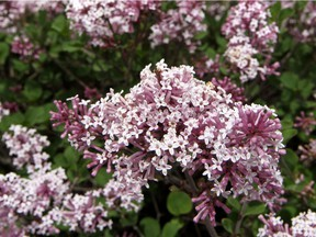 A potted lilac bush can survive through the winter if its roots are protected from cycles of freezing and thawing.
