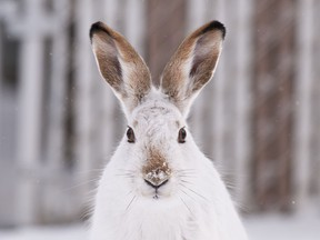 Snowshoe hares can be carnivorous creatures that don't seem picky about the type of meat they eat.
