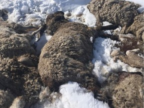 One of the sheep carcasses in Lamont County along Range Road 182 off Highway 16, about 65 km east of Edmonton.