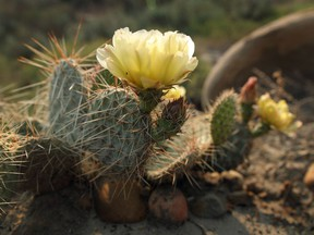 Prickly pear cacti are native to Alberta and very hardy, enduring extreme cold, heat, or drought conditions.