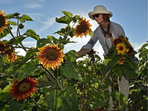 Volunteer Jo-Ann Hope picks sunflowers on Tuesday, July 17, 2018 to be sold at the Green and Gold Community Garden at University of Alberta south campus farm. The volunteer-run, garden is celebrating its 10th anniversary this month and all proceeds from the produce sales go to a women's project in Rwanda.