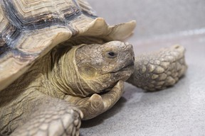 A tortoise found wandering the streets near the Royal Alexandra hospital has been turned into Animal Care & Control Centre on July 26, 2018. The reptile is estimated to be about 10 years-old. Shaughn Butts / Postmedia