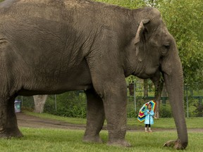 A young girl watches as Asian elephant Lucy walks around the Edmonton Valley Zoo on Tuesday, June 25, 2019. Two elephant trainers were with Lucy but out of frame.