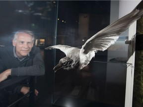 Royal Alberta Museum (RAM) ornithologist Jocelyn Hudon with a rare albino magpie on display at the museum on Thursday, Aug. 15, 2019, in Edmonton.
