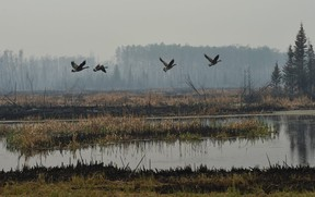Geese take-off from a pond next to scorched earth along Highway 35 and 10 km south of High Level where about 4000 residence were evacuated from the Chuckegg Creek fire that is still approximately three kilometres from the town site, May 22, 2019.