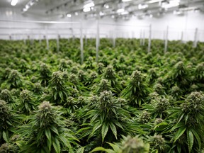 A worker walks past rows of cannabis plants growing in a greenhouse.