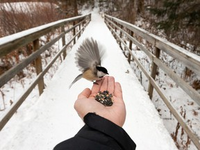 A chickadee feeds from the photographer's hand on a trail in Whitemud Park in Edmonton on Wednesday, Dec. 23, 2020.