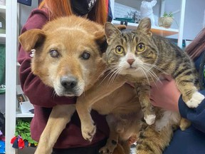 """Spike, an eight-year-old blind dog and Max, his """"seeing-eye cat,"""" were surrendered to the Saving Grace Animal Society in Alix, Alta. on Monday. The shelter hopes the pair will be available for adoption in two weeks. Photo supplied from Saving Grace Animal Society Facebook."""