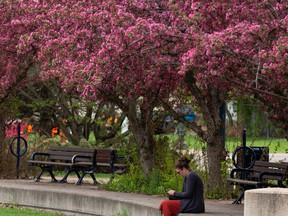 A visitor takes a moment sitting by the flowering cherry trees at George F Hustler Memorial Plaza in Edmonton, on Monday, May 17, 2021.