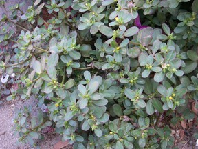 The edible but tenacious purslane weed is a love-it or hate-it species.