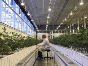 A worker tends to marijuana plants at the Aurora Sky facility in Edmonton.