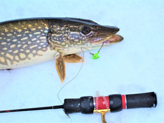 This Devil's Lake pike fell for a chartreuse jig baited with a frozen shiner minnow