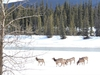 Herd of cow elk on the Athabasca River ice. Neil Waugh/Edmonton Sun