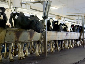 Cows attached to milker units at the London Dairy Farm