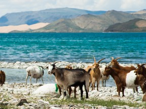 Cashmere goats lakeside in Mongolia.