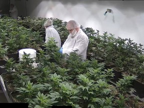 Alberta's newest medical marijuana production facility Invictus MDís Acreage Pharms, a small operation owned by Invictus near the hamlet of Peers about 200 km west of Edmonton, May 19, 2017.
