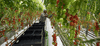 Edwin Pascal picks ripe cherry tomatoes at the 55-acre Mastronardi Sunset greenhouse in Kingsville, Ont. The tomatoes are grown in such a way to allow workers to always pick the fruit at waist height.