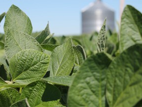 Soybean is planted in a field in in Harvard, Illinois. Soybean growers expect to lose at least US$3.2 billion during the next crop season thanks to fallout over U.S. President Donald Trump's tariffs.