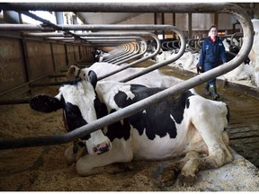 Dairy cows rest at a farm in Eastern Ontario on Wednesday, April 19, 2017. Two of Donald Trump's top lieutenants are turning up the heat on the Trudeau government to open up its protected supply-managed dairy industry as Canada returns to the NAFTA bargaining table.