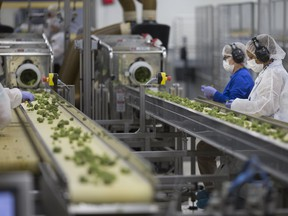 Workers trim marijuana on conveyor belt before being packaged at Aphria in Leamington, Ont.