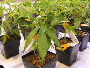 Cannabis seedlings are shown at an Aurora Cannabis grow facility in Montreal on Friday, Nov. 24, 2017.