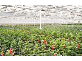 Marijuana plants are shown in this undated handout image provided by Aphria.