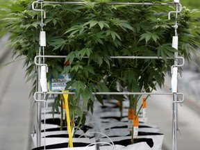 Cannabis plants inside a Tilray hothouse in Portugal.